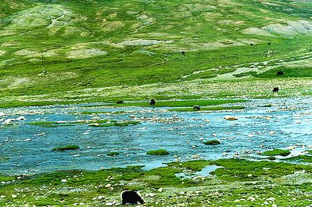 西藏阿里无人区草原河流旁的牦牛群图片