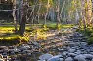 新疆禾木日出晨光白桦林图片