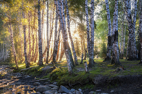 新疆禾木日出白桦林图片