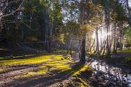 新疆禾木白桦林日出晨光图片