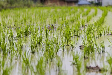 插秧稻田图片
