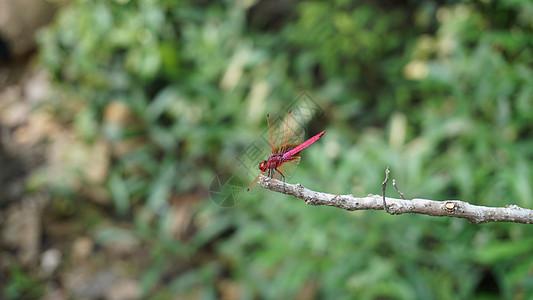 溪流边的红蜻蜓图片