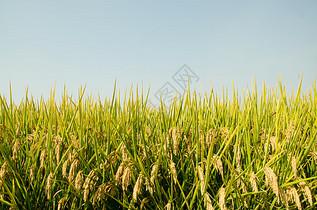 芒种时节成熟水稻图片