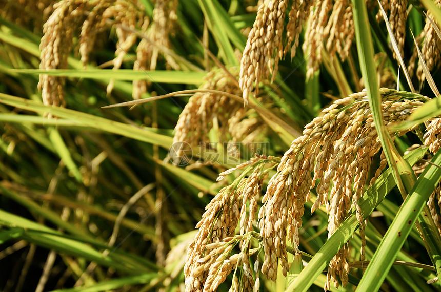 收获的水稻图片
