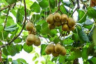 猕猴桃果园图片