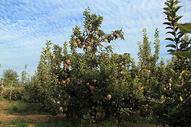 苹果园图片