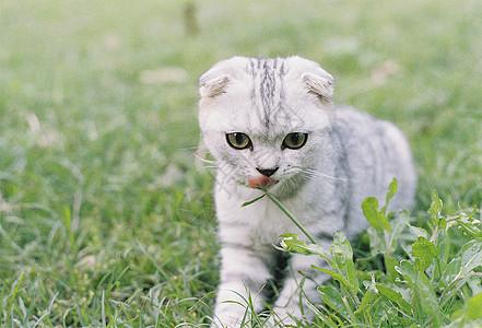 小猫在草坪上玩耍图片