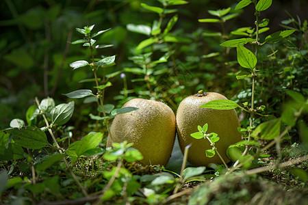 草丛中的猕猴桃图片