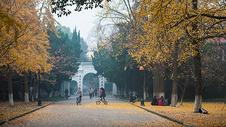 苏州大学的银杏树图片