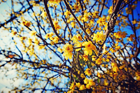 冬季盛开的梅花香气扑鼻图片