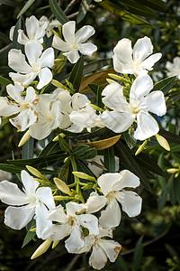夹竹桃鲜花盛开图片