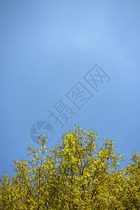 秋天好天气下的枫树枫叶图片