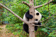 四川 大熊猫图片
