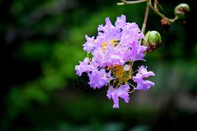 紫薇花壁纸壁纸