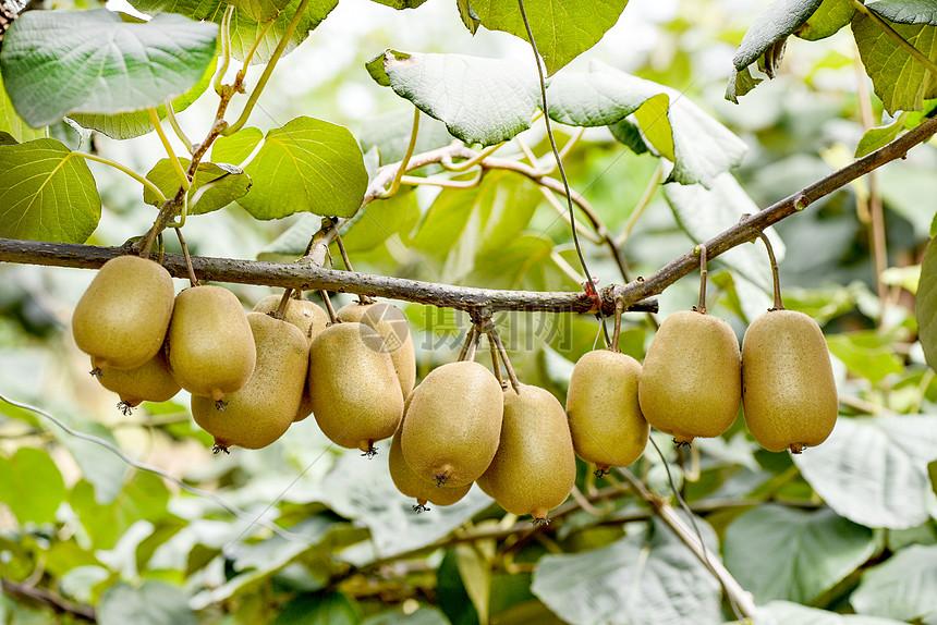 猕猴桃挂果图图片