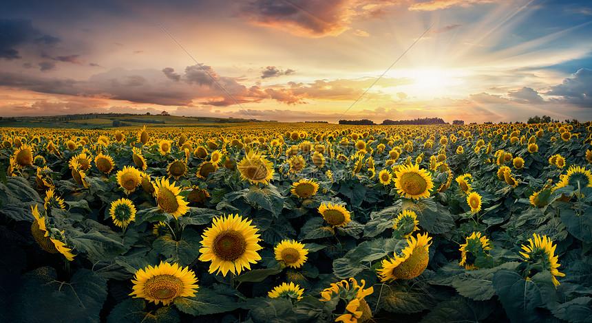 唯美图片 自然风景 美爆天空向日葵花海jpg  分享: qq好友 微信朋友圈