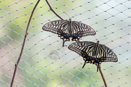 两只蝴蝶图片