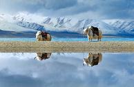 西藏雪山下的两只白牦牛倒影图片