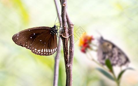 枯树枝上的两只蝴蝶图片