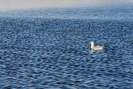 波光鳞鳞的湖面上的鸭子图片