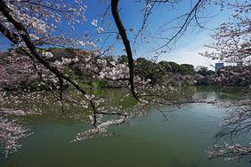 东京千鸟之渊赏樱图片