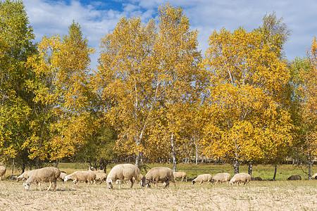 悠闲吃草的羊群图片