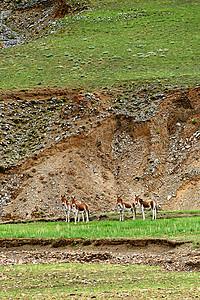 西藏阿里无人区的藏野驴图片
