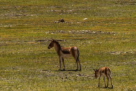 阿里草原上的野驴图片