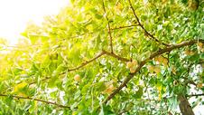 秋天果实银杏图片