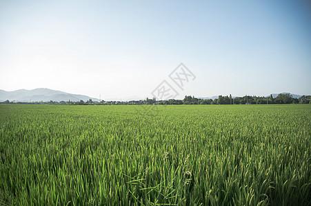 绿意盎然的稻田 图片