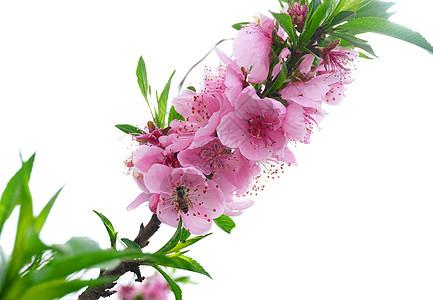 春天里在桃花上采蜜的蜜蜂图片