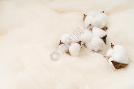 棉花摆拍图图片
