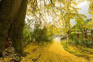 秋天金黄的千年银杏图片