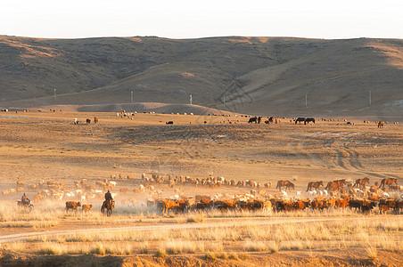 新疆阿勒泰阿尔泰山牧民转场牛羊成群图片
