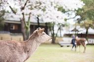 日本奈良小鹿图片