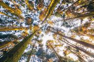 秋天树林的清晨仰视图片