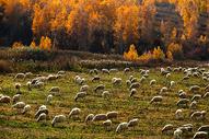 秋天坝上的羊图片