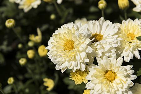 花团锦簇的菊花图片
