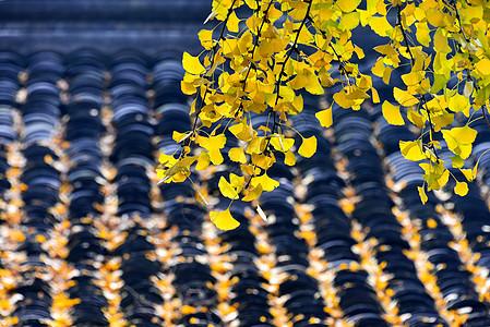 秋天的银杏树枝图片