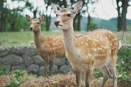 日本奈良公园草坪上的梅花鹿图片