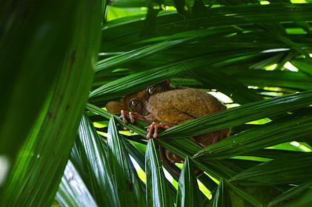 菲律宾薄荷岛国宝眼镜猴唯美照片图片