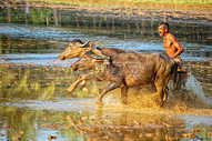 印度 牛车比赛500651362图片