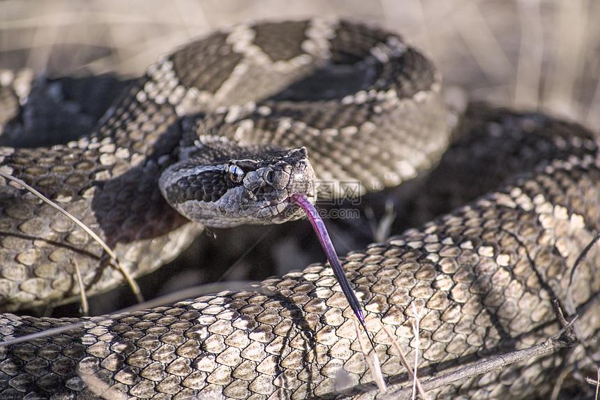响尾蛇图片