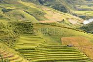 越南水稻田图片