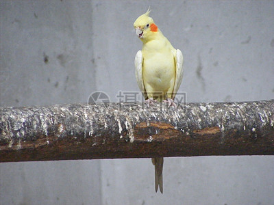 白头凤鹦鹉图片