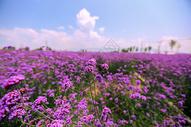 紫色花海唯美图片图片