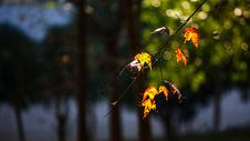阳光和枫叶图片