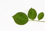 玫瑰叶子叶脉白底素材图片