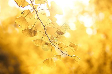 唯美逆光银杏树叶图片