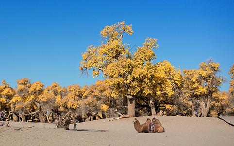 胡杨树骆驼图片